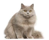 Britische langhaarige Katze, 15 Monate alte, sitzend Lizenzfreies Stockfoto