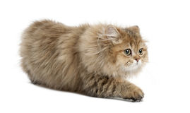 Britische langhaarige Katze, 4 Monate alte, gehend Lizenzfreie Stockfotografie