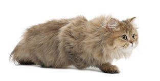 Britische langhaarige Katze, 4 Monate alte, gehend Lizenzfreie Stockfotos