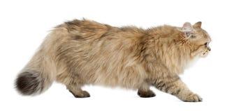 Britische langhaarige Katze, 4 Monate alte, gehend Stockbilder