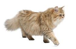 Britische langhaarige Katze, 4 Monate alte, gehend Lizenzfreies Stockfoto