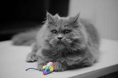 Britische langhaarige Katze mit Toy Mouse Stockbild