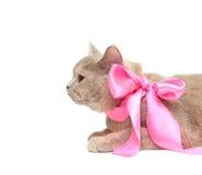 Britische SahneShorthair Katze Stockfoto