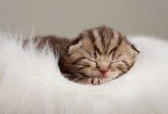 Britische Schätzchenkatze neugeborenen Schlafens Lizenzfreie Stockfotografie