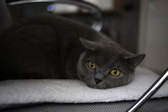 Britische schottische Falte der grauen Katze mit den hellen gelben Augen, die auf einem Stuhl liegen lizenzfreies stockfoto