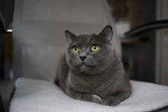 Britische schottische Falte der grauen Katze mit den hellen gelben Augen, die auf einem Stuhl liegen lizenzfreie stockfotos