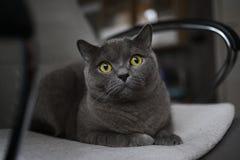 Britische schottische Falte der grauen Katze mit den hellen gelben Augen, die auf einem Stuhl liegen lizenzfreies stockbild