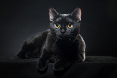 Britische schwarze Katze Stockfoto