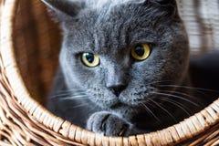 Britische Shorthair blaue Katze im Weidenkorb Lizenzfreie Stockbilder