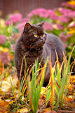 Britische shorthair Browns Katze draußen Stockfotografie