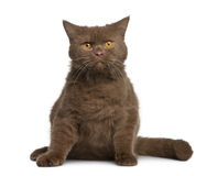 Britische shorthair Katze, 11 Monate alte Lizenzfreie Stockbilder