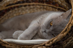 Britische Shorthair Katze Stockbild