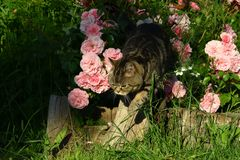 Britische Shorthair Katze Stockfotografie