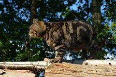 Britische Shorthair Katze Stockbilder