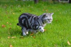 Britische Shorthair Katze Lizenzfreies Stockfoto