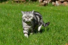 Britische Shorthair Katze Lizenzfreie Stockbilder