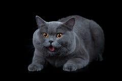 Britische shorthair Katze auf Schwarzem lizenzfreie stockfotos
