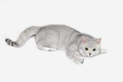 Britische shorthair Silberschatten Katze Lizenzfreie Stockfotografie