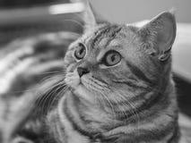 britische silberne Katze der getigerten Katze Lizenzfreie Stockfotos