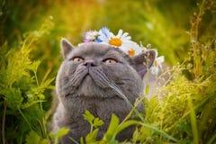 Britische Zucht der Katze Stockfoto