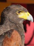 Britischer Adlervordergrund Stockbilder