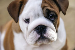 Britischer Bulldogge-Welpe Lizenzfreie Stockfotografie