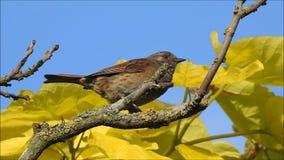 Britischer Dunnockvogel, der hoch oben im Wipfel singt stock footage