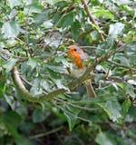 Britischer erwachsener Rotkehlchenvogel, der im Baum sich versteckt Lizenzfreies Stockfoto