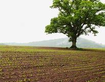Britisches Ackerland mit Eiche Stockbilder