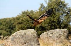 Britisches Adlerflugwesen Stockbilder