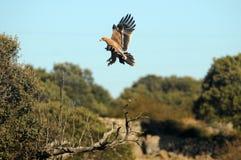 Britisches Adlerflugwesen durch die Bäume Lizenzfreie Stockbilder