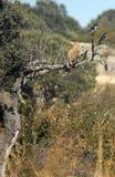 Britisches Adlerflugwesen durch die Bäume Lizenzfreie Stockfotos