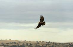 Britisches Adlerflugwesen durch die Berge Stockbild