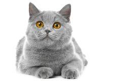 Britisches blaues Kätzchen auf Weiß Stockfoto