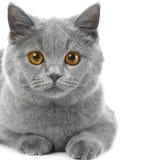 Britisches blaues Kätzchen auf Weiß Stockfotos