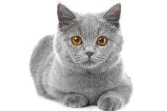 Britisches blaues Kätzchen auf Weiß Stockbilder