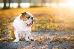 Britisches Bulldoggenporträt stockbilder