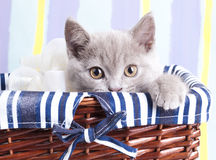 Britisches Kätzchen stockbilder