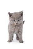 Britisches Kätzchen Stockfotos