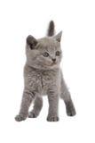 Britisches Kätzchen Lizenzfreies Stockfoto