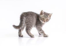 Britisches Kätzchen auf den Hinterbeinen, singend Lizenzfreies Stockbild