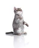 Britisches Kätzchen auf den Hinterbeinen, singend Lizenzfreie Stockbilder