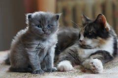 Britisches Kätzchen des kurzen Haares Lizenzfreies Stockfoto