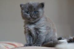 Britisches Kätzchen des kurzen Haares Lizenzfreies Stockbild