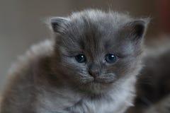 Britisches Kätzchen des kurzen Haares Stockfotografie
