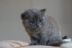 Britisches Kätzchen des kurzen Haares Lizenzfreie Stockbilder