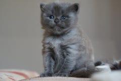 Britisches Kätzchen des kurzen Haares Stockfoto