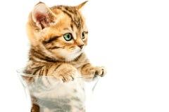 Britisches Kätzchen des kurzen Haares in der Schüssel Stockfotos