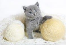 Britisches Kätzchen mit dem Stricken. Stockbild