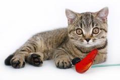 Britisches Kätzchen mit einem roten Spielzeug Stockfotografie
